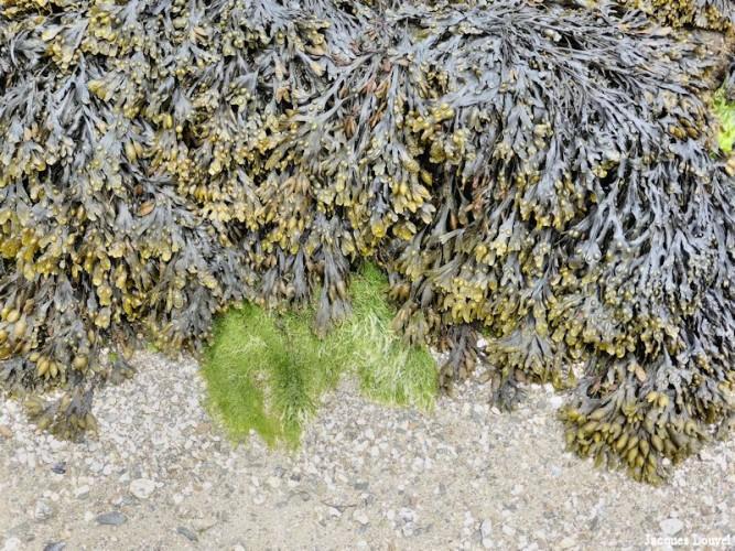 Belle-Île : éléments de flore littorale