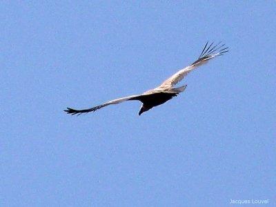 Le vol du vautour fauve des Pyrénées